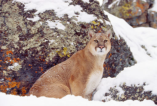 COU 01 RK0116 05 © Kimball Stock Cougar Sitting In Snow By Rock