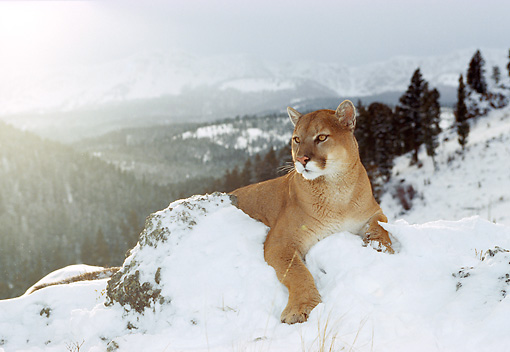 COU 01 RK0124 01 © Kimball Stock Shoulder Shot Of Cougar Leaning On Snow Covered Rock Looking Away Trees And Mountain Background