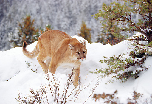 COU 01 RK0129 02 © Kimball Stock Mountain Lion Walking Through Deep Snow By Trees