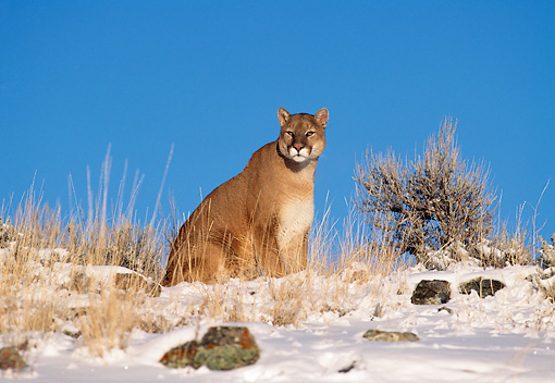 COU 01 RK0159 06 © Kimball Stock Cougar Sitting On Snow