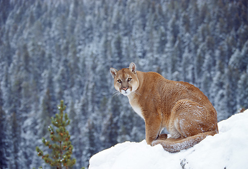 COU 01 RK0162 05 © Kimball Stock Cougar Sitting On Snow Covered Rock By Cliff Trees Background