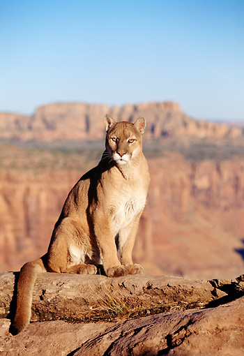 COU 01 RK0327 03 © Kimball Stock Cougar Sitting On Rock By Canyon