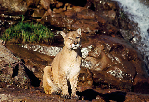 COU 01 RK0356 09 © Kimball Stock Cougar Sitting On Rocks