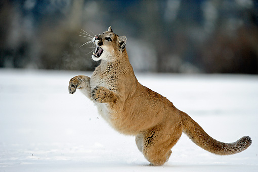 COU 01 WF0002 01 © Kimball Stock Mountain Lion Leaping Toward Sky On Snow