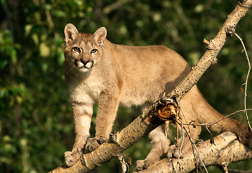 COU 01 DB0002 01 © Kimball Stock Mountain Lion Juvenile Climbing On Tree Branch