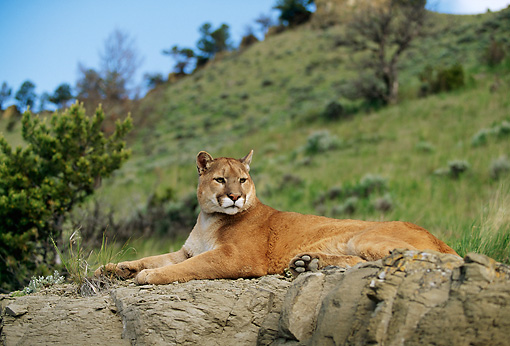 COU 01 DB0006 01 © Kimball Stock Mountain Lion Laying On Rock Near Trees And Mountain