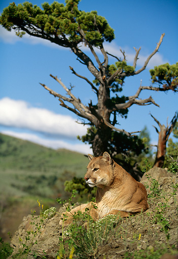 COU 01 DB0007 01 © Kimball Stock Mountain Lion Laying On Rock Near Trees And Mountain