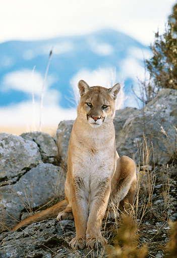COU 01 DB0009 01 © Kimball Stock Head On View Of Mountain Lion Sitting On Rocky Outcrop