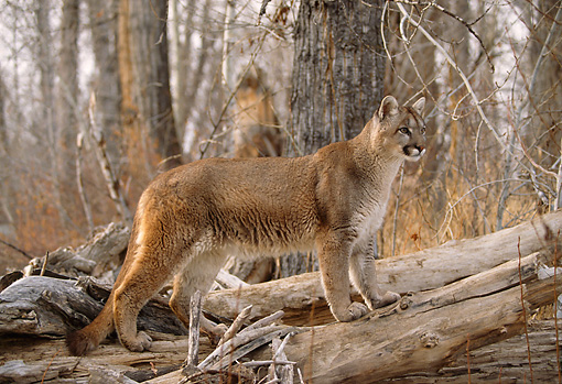 COU 01 DB0010 01 © Kimball Stock Profile Of Mountain Lion Standing On Log In Forest