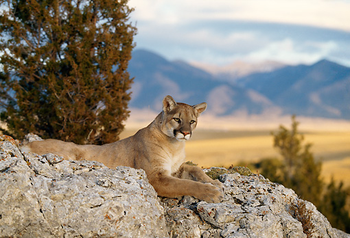 COU 01 DB0012 01 © Kimball Stock Mountain Lion Laying On Rock Near Trees And Mountain