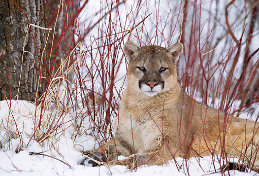 COU 01 DB0014 01 © Kimball Stock Mountain Lion Laying On Snow In Woods