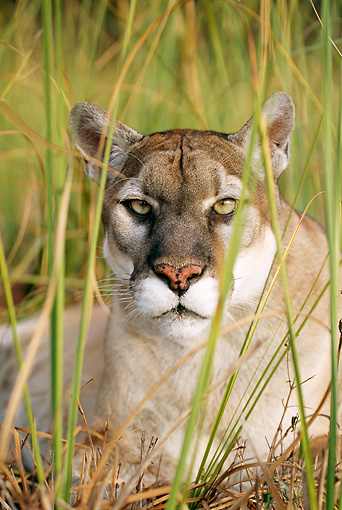 COU 01 LS0001 01 © Kimball Stock Portrait Head Shot Of Florida Panther Laying In Tall Grass
