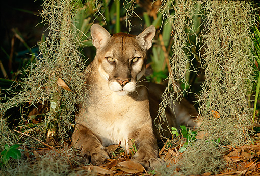 COU 01 LS0002 01 © Kimball Stock Portrait Of Florida Panther Laying Under Spanish Moss