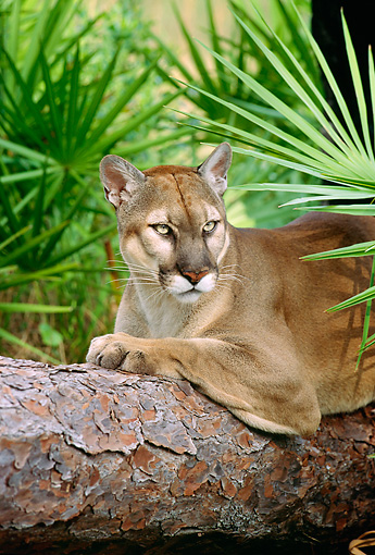 COU 01 LS0003 01 © Kimball Stock Portrait Of Florida Panther Laying On Log By Palmetto