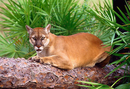 COU 01 LS0004 01 © Kimball Stock Portrait Of Florida Panther Laying On Log By Palmetto