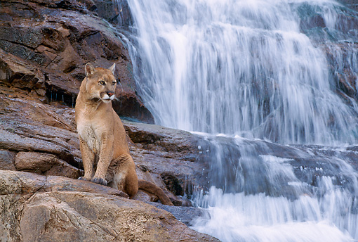 COU 01 NE0002 01 © Kimball Stock Mountain Lion Standing On Rocks At Waterfall Utah