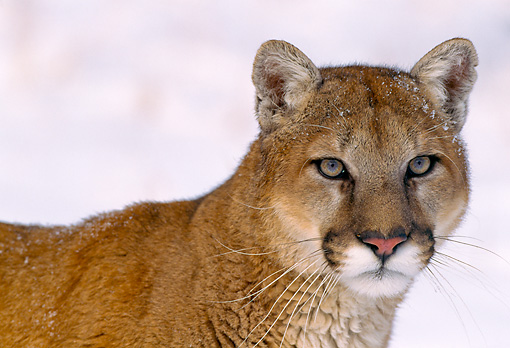COU 01 NE0004 01 © Kimball Stock Shoulder Shot Of Mountain Lion Standing In Snow Rocky Mountains