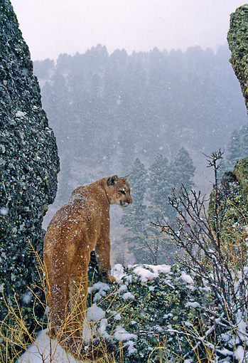 COU 01 NE0005 01 © Kimball Stock Mountain Lion Standing At Outlook During Snowfall Rocky Mountains