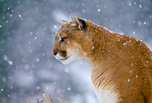 COU 01 NE0006 01 © Kimball Stock Shoulder Shot Of Mountain Lion Sitting In Snow Rocky Mountains