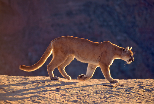 COU 01 NE0007 01 © Kimball Stock Mountain Lion Walking Along Ridge In Canyonlands Utah