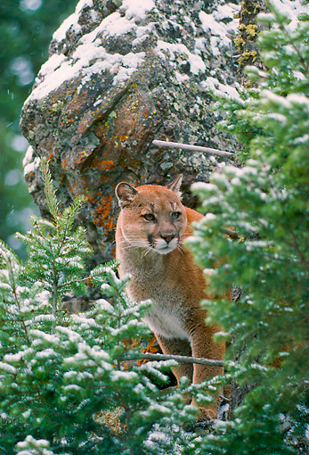 COU 01 NE0009 01 © Kimball Stock Mountain Lion Standing Behind Evergreen Trees By Rock Rocky Mountains