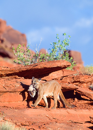 COU 01 NE0011 01 © Kimball Stock Mountain Lion Mother Carrying Cub Along Red Rocks Utah