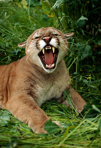 COU 01 RK0035 01 © Kimball Stock Roaring Cougar Laying In Tall Grass