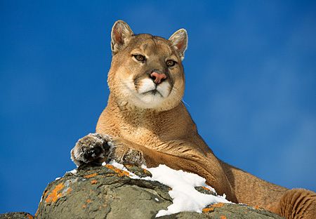COU 01 RK0134 06 © Kimball Stock Head Shot Of Cougar Laying Up High On Snow Covered Rock Blue Sky