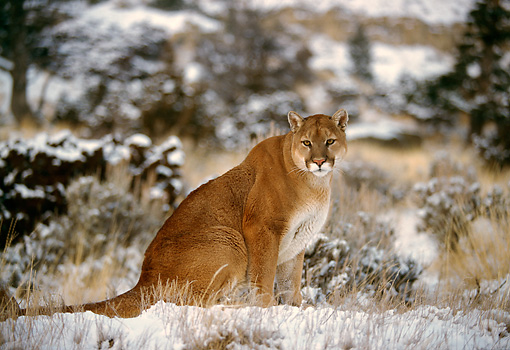 COU 01 RK0146 01 © Kimball Stock Cougar Sitting On Snow