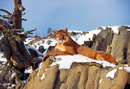 COU 01 RK0150 01 © Kimball Stock Cougar Laying On Snow Covered Rock