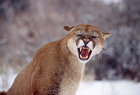 COU 01 RK0182 03 © Kimball Stock Close Up Shoulder Shot Of Cougar Sitting On Snow Ears Back Snarling Teeth Showing Eyes Closed