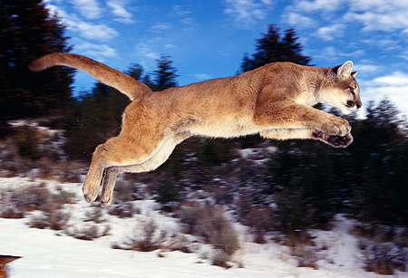 COU 01 RK0192 10 © Kimball Stock Full Body Profile Shot Of Cougar Leaping In Air Legs Out Trees Snow Blue Sky