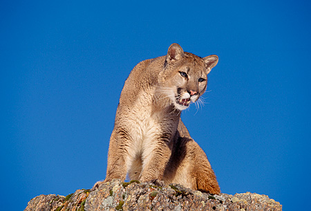 COU 01 RK0216 02 © Kimball Stock Full Body Shot Of Cougar Sitting High On Top Of Rock Blue Sky