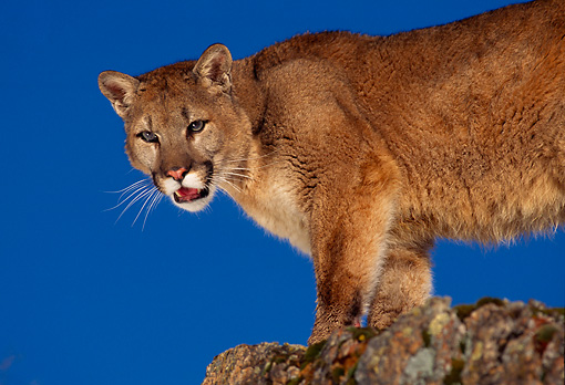 COU 01 RK0220 04 © Kimball Stock Close Up Of Cougar Standing On Rocks Blue Sky