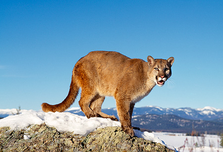 COU 01 RK0222 13 © Kimball Stock Cougar Standing On Top Of Snow Covered Rock Blue Sky