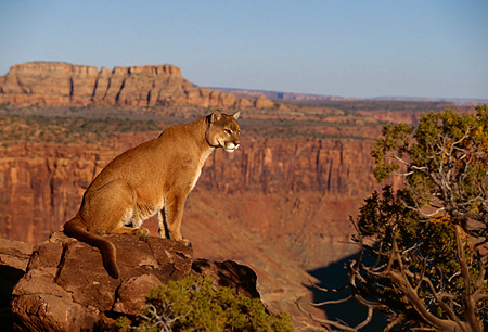 COU 01 RK0362 01 © Kimball Stock Profile Shot Of Cougar Sitting On Rock By Tree Canyon Background Blue Sky