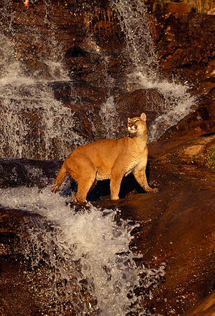 COU 01 RK0366 05 © Kimball Stock Cougar Walking Across Rocks And Waterfall