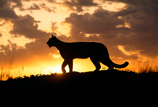 COU 01 RW0001 01 © Kimball Stock Female Mountain Lion Silhoutte At Sunrise