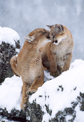 COU 01 TK0001 01 © Kimball Stock Cougar Adult Grooming Young On Snow-Covered Rocks