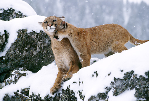 COU 01 TK0002 01 © Kimball Stock Cougar Young Nuzzling Adult On Snowy Rocks