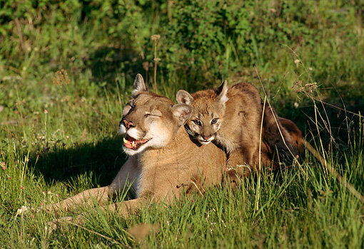 COU 01 TK0003 01 © Kimball Stock Cougar Young Climbing On Mother Laying In Grass