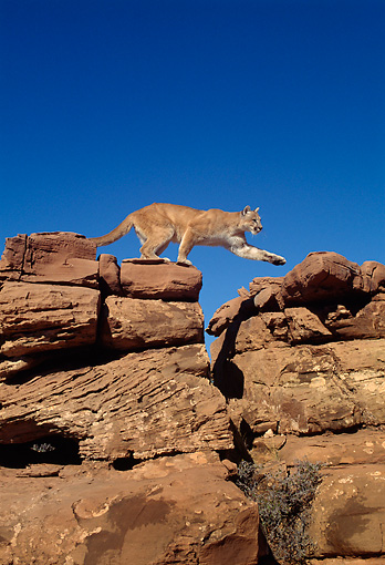 COU 01 TK0005 01 © Kimball Stock Profile Of Cougar Climbing On Rocks Blue Sky