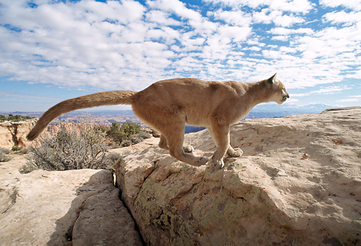 COU 01 TK0006 01 © Kimball Stock Profile Of Cougar Climbing On Rocks Blue Sky