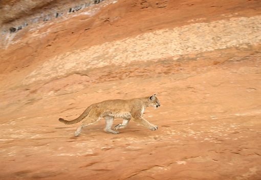 COU 01 TK0007 01 © Kimball Stock Profile Of Cougar Walking In Dry Canyon