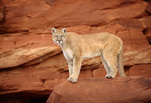 COU 01 TK0008 01 © Kimball Stock Cougar Standing On Rock In Dry Canyon