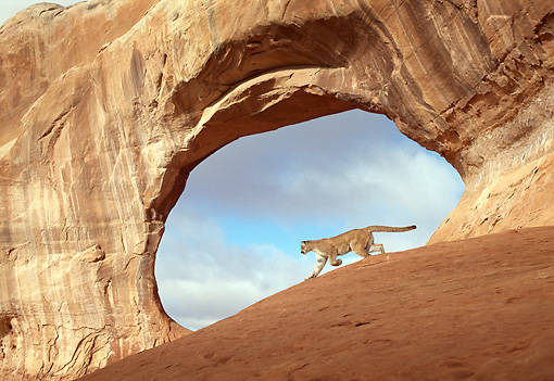 COU 01 TK0010 01 © Kimball Stock Profile Of Cougar Walking By Sandstone Arch Blue Sky