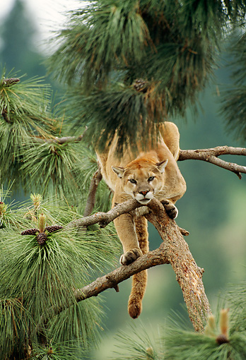 COU 01 TK0013 01 © Kimball Stock Head On View Of Cougar Climbing Tree