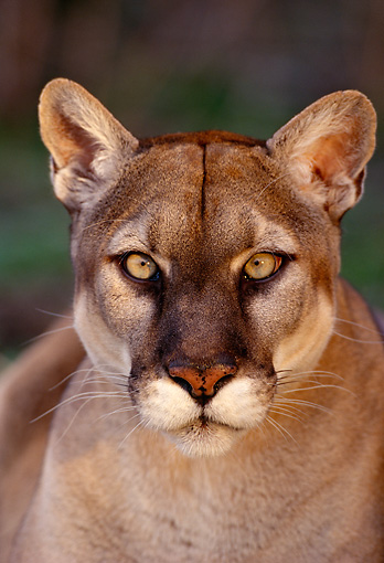 COU 01 TL0005 01 © Kimball Stock Portrait Head Shot Of Mountain Lion