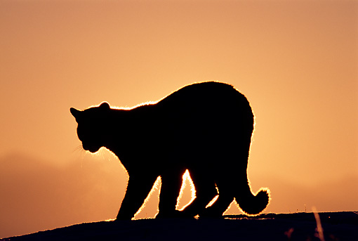 COU 01 TL0006 01 © Kimball Stock Silhouette Shot Of Mountain Lion At Sunrise
