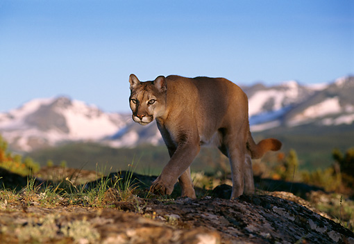 COU 01 TL0008 01 © Kimball Stock Portrait Of Mountain Lion